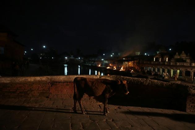 Cow/Sacredness Bagmati River kathmandu, Nepal 2014